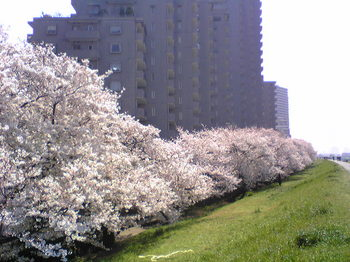 多摩川沿いの桜.jpg